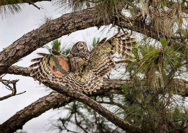 Barred Owl landing in a tree with feet out in front (SandraCalderbank, sandra calderbank)