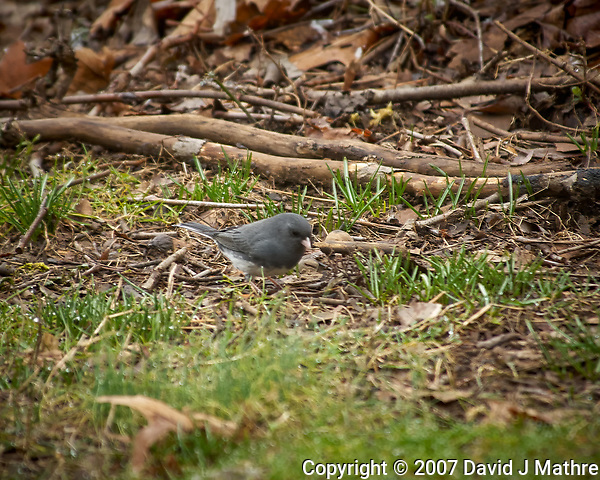 Dark-eyed Junco. Image taken with a Nikon D2xs camera and 80-400 mm VR lens (ISO 400, 400 mm, f/5.6, 1/90 sec) (David J Mathre)