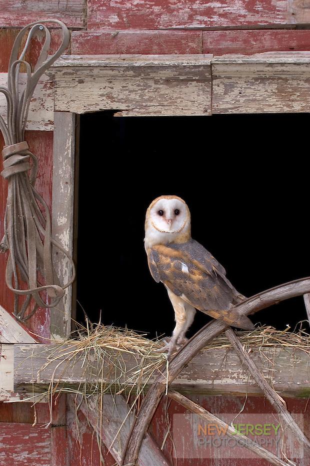 Barn Owl, New Jersey (Steve Greer / SteveGreerPhotography.com)