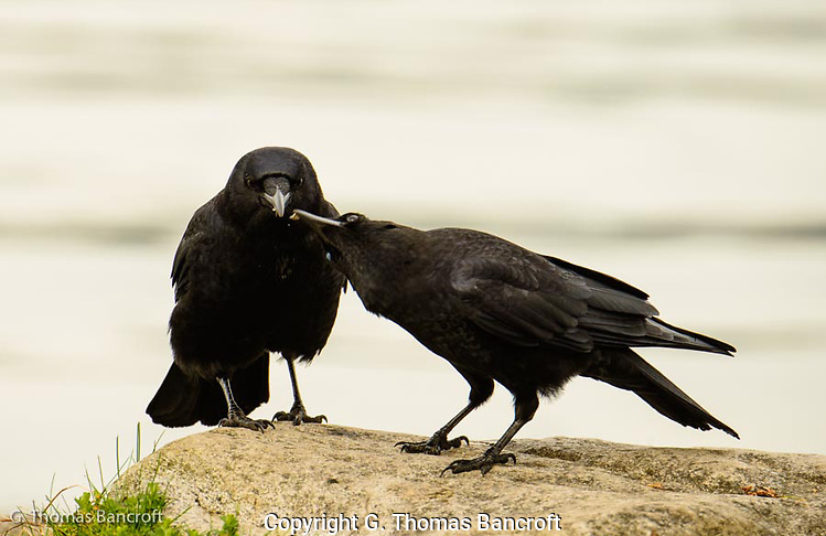 The one crow walded up from the shore with a morsel in its mouth and its mate twisted its head to take a piece from its mate. (G. Thomas Bancroft)