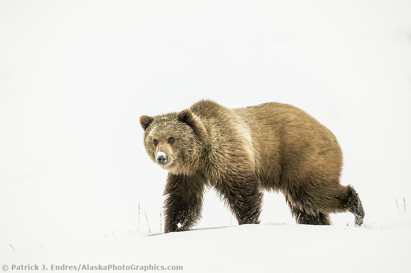 Grizzly bear in the fresh winter snow in Atigun canyon, Brooks Range, Alaska (Patrick J Endres / AlaskaPhotoGraphics.com)