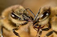 Honey bee (Apis mellifera), Kiel, Germany | Die Honigbiene (Apis mellifera) gibt den gesammelten Nektar an eine Schwester weiter, diese wird den Nektar eindichcken und ihn als Honig in den Zellen lagern. Kiel, Deutschland (Solvin Zankl)