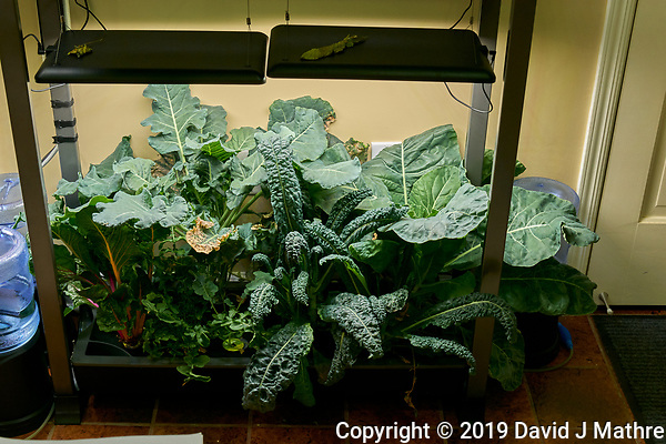 AeroGarden Farm 03 Left and Right Tray at 49 days. L01-L03 Broccoli; L10 Swiss Chard; L11-12 Arugula; R01-R03 Cauliflower; R10-R12 Kale. Image taken with a Leica TL-2 camera and 35 mm f/1.4 lens (ISO 400, 35 mm, f/8, 1/80 sec). (DAVID J MATHRE)