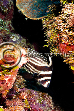 Spotted Drum, Equetus punctatus, Grand Cayman (StevenWSmeltzer.com)