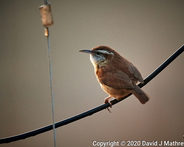 House Wren. Image taken with a Nikon D5 camera and 600 mm f/4 lens (ISO 1600, 600 mm, f/4, 1/320 sec) (DAVID J MATHRE)