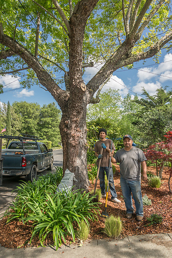 Saint Helena resident Alex Naavarrele, owner of Amado Landscaping, with his helper, Alejandro Casas, finish a project at a neighbor's home on School Street in Calistoga (Clark James Mishler)