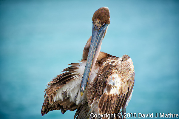 Brown Pelican Preening in Kralendijk Bonaire. Image taken with a Nikon D3s and 70-300 mm VR lens (ISO 200, 240 mm, f/5.6, 1/640 sec). (David J Mathre)