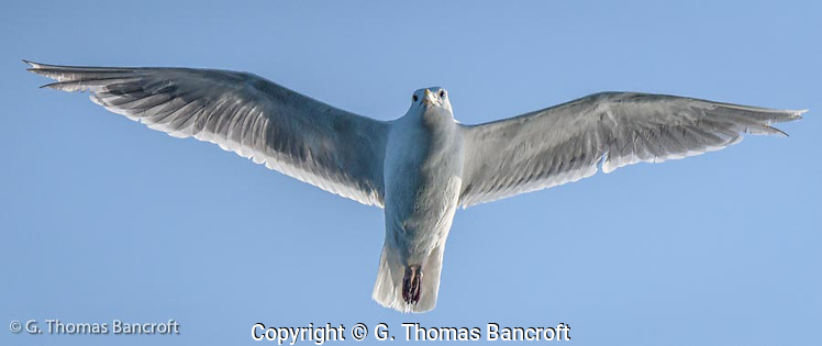 The adult glaucous-winged gull flew right over the boat as we drifted in Puget Sound. (G. Thomas Bancroft)