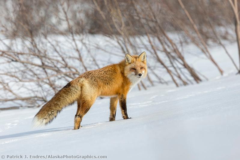 Red fox in the snow in Alaska's Arctic. (Patrick J Endres / AlaskaPhotoGraphics.com)