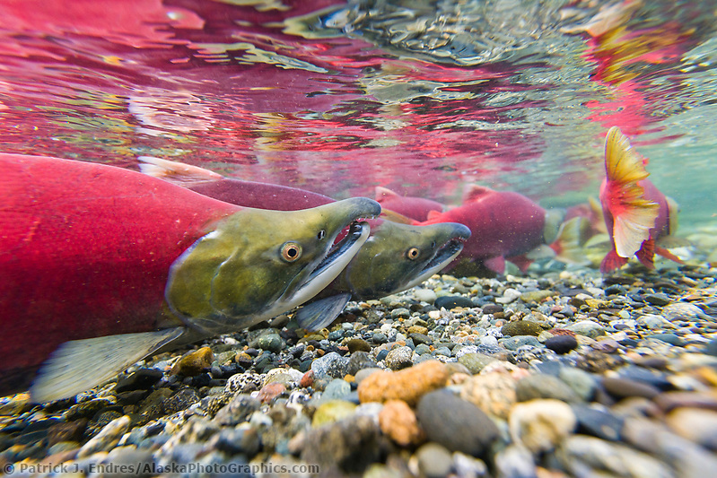 "Red salmon or ""sockeye"" in spawning phase (red body and green head) in a small stream in the Alaska mountains. (Patrick J. Endres / AlaskaPhotoGraphics.com)"