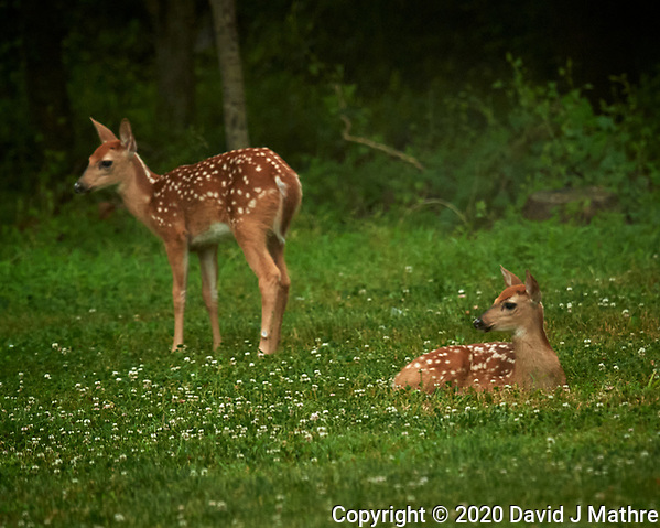 Pair of Spotted Fawns dropped off at Daycare. Image taken with a Nikon D5 camera and 600 mm VR lens (DAVID J MATHRE)