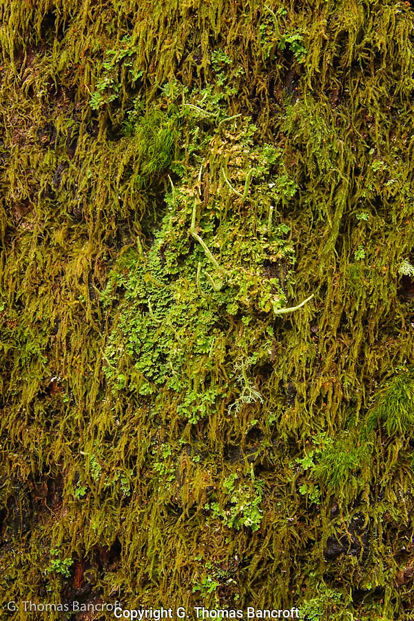 The mosses and lichens compete for limited space on the massive hemlock trunk.  I wonder what determines which species wins to fight for this space.  Is it first come or does one out compete the others. (G. Thomas Bancroft)