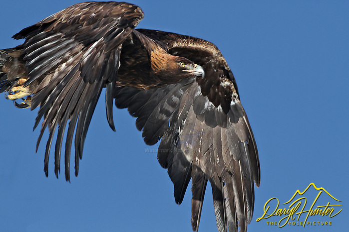 "Golden Eagle in flight in Swan Valley Idaho. (© Daryl Hunter's ""The Hole Picture""/Daryl L. Hunter)"
