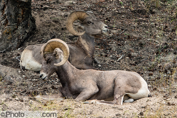Bighorn Sheep / Ovis canadensis at Radium Hot Springs village, British Columbia, Canada. (© Tom Dempsey / PhotoSeek.com)