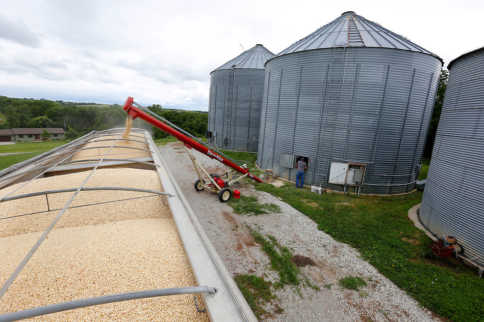 Justin Dammann peers inside an emptying grain bin as some of last year's white corn harvest is loaded for market on his family's Page County farm near Clarinda on July 2, 2014.  The family raises food-grade white and yellow corn.  This load was destined for the Minsa Corporation in Red Oak, a corn flour mill. (Christopher Gannon/The Register)