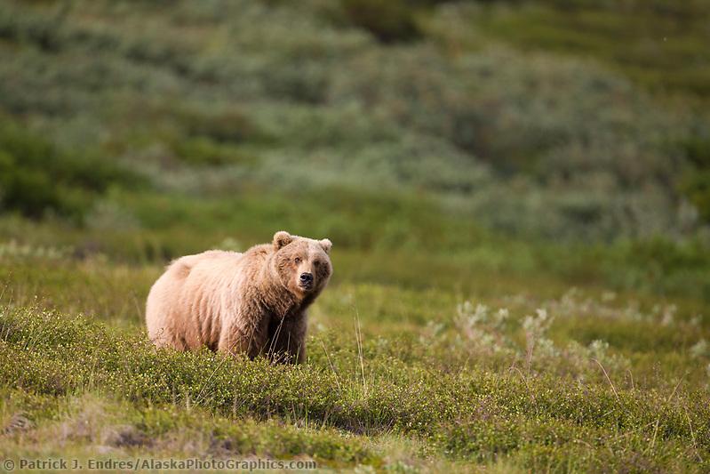 Sow grizzly bear, Sable Pass, Denali National Park, interior, Alaska. (Patrick J. Endres / AlaskaPhotoGraphics.com)