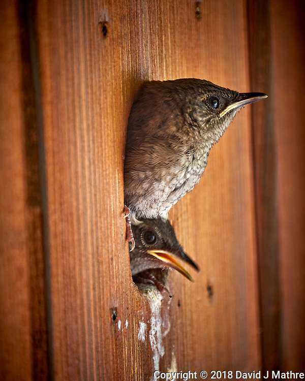 Two House Wren Chicks Looking Out of the Nest at My Front Door.. Image taken with a Fuji X-T2 camera and 100-400 mm OIS telephoto zoom lens. (DAVID J MATHRE)