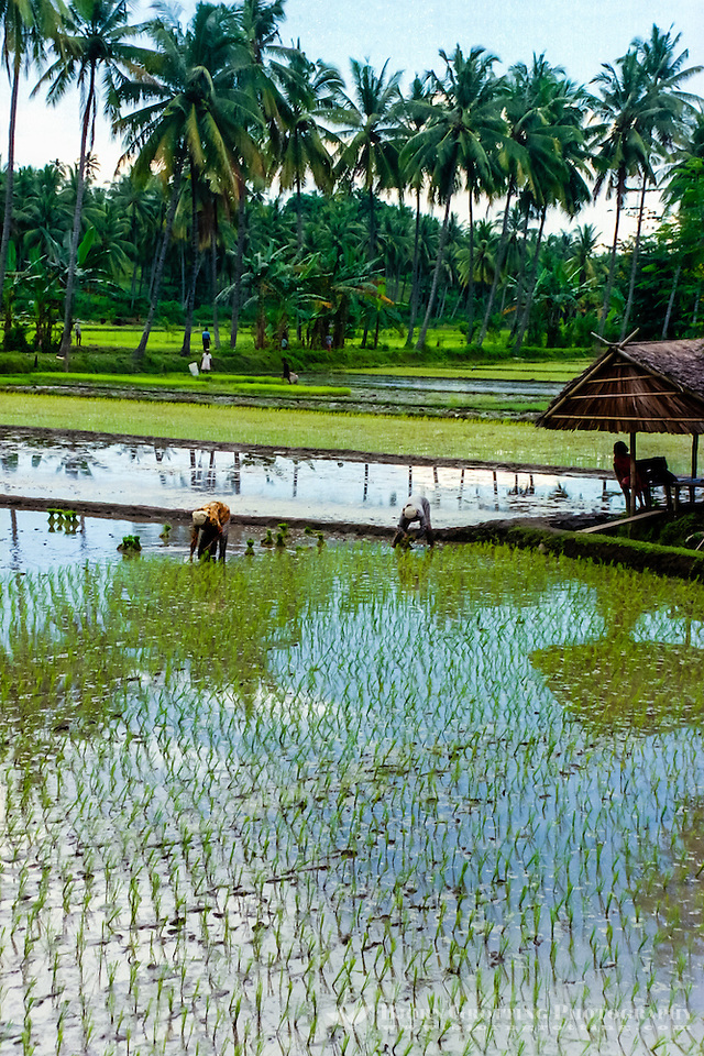 Nusa Tenggara, North Lomboks. Planting of rice north of Senggigi. (Bjorn Grotting)