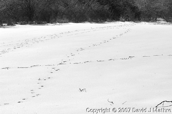 Deer tracks in my back yard. Late winter snow in New Jersey. Image taken with a Nikon D2xs camera and 80-400 mm VR lens (ISO 100, 80 mm, f/12, 1/640 sec). (David J Mathre)