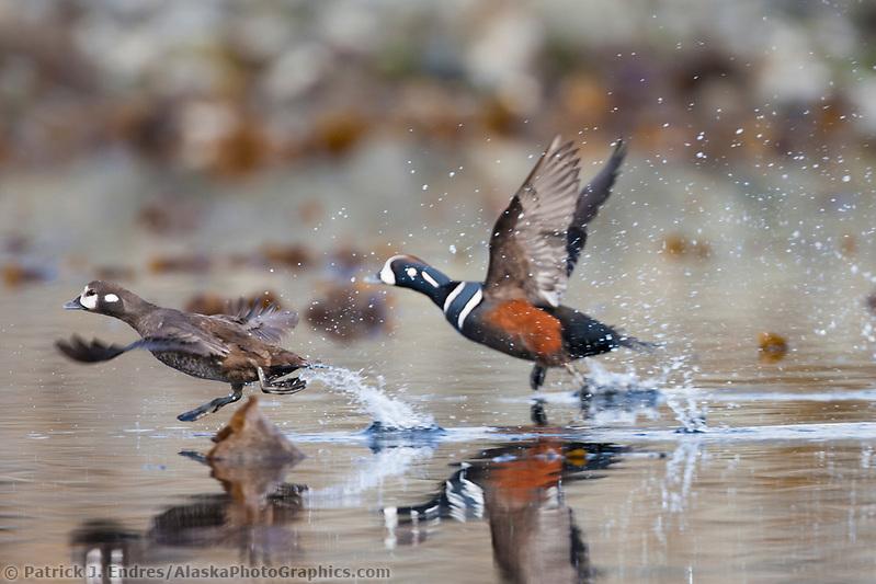 Harlequin ducks, Unakwik Inlet, Prince William Sound, southcentral, Alaska (Patrick J. Endres / AlaskaPhotoGraphics.com)
