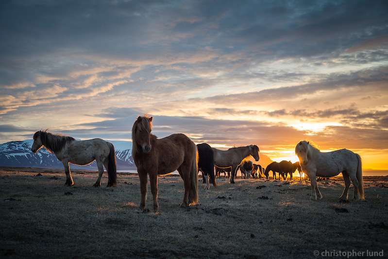 Icelandic horses at sunset in Skagafjörður, North Iceland. (Christopher Lund/©2014 Christopher Lund)