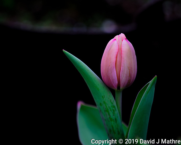 Tulip Flower Opening. Image taken with a Fuji X-T3 camera and 200 mm f/2 OIS lens (DAVID J MATHRE)