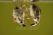 [captive] The Milfoil weevil (Eubrychius velutus), here on water milfoil (Myriophyllum sp.),  is an aquatic weevil. The adults live fully submerged and take up oxygen from a layer of air around the body.  | Der Tausendblatt-Rüsselkäfer (Eubrychius velutus) ist ein guter Schwimmer und lebt komplett unter Wasser. Meist findet man ihn zwischen den den fiedrigen Blättern des Tausendblatts. (Solvin Zankl)