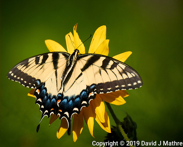 Tiger Swallowtail Butterfly on a Sunflower. Image taken with a Nikon 1 V3 camera and 70-300 mm VR lens (DAVID J MATHRE)