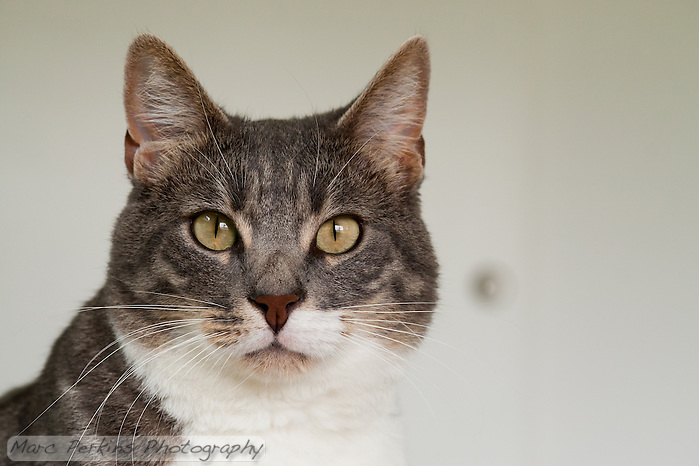 Bertie, a blue tabby and white shorthair cat, looking a bit surprised as he stares directly into the camera. (Marc C. Perkins)