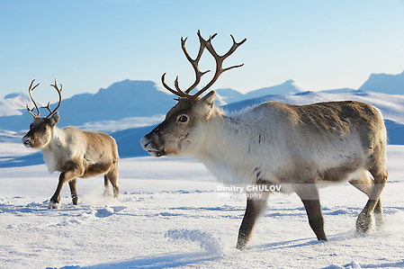 Reindeers in natural environment in Tromso region, Northern Norway. (Dmitry Chulov)