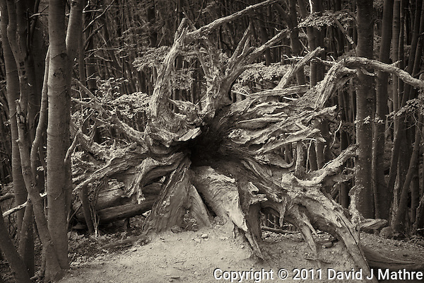 Tree Root in B&W. Hike and Equitrekking from Hotel Las Torres to Mrador Las Torres in Torres del Paine National Park. Image taken with a Nikon D3x and 50 mm f/1.4G lens (ISO 400, 50 mm, f/5.6, 1/20 sec.). (David J Mathre)