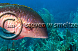Mutton Snapper, Lutjanus analis, (Cuvier, 1828), Grand Cayman (Steven W Smeltzer)