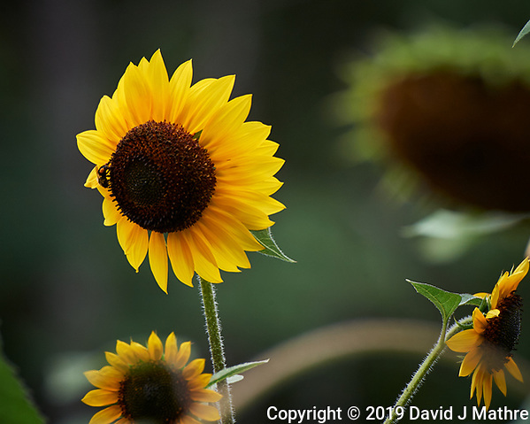 Sunflower. Image taken with a Nikon D5 camera and 80-400 mm VRII lens (ISO 450, 400 mm, f/8, 1/800 sec). (DAVID J MATHRE)
