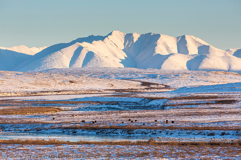 Herd of muskox on the tundra in the Brooks Range mountains, Arctic, Alaska. (Patrick J Endres / AlaskaPhotoGraphics.com)