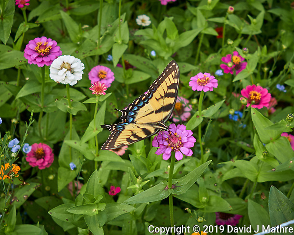 Tiger Swallowtail. Image taken with a Leica CL camera and 23 mm f/2 lens (DAVID J MATHRE)