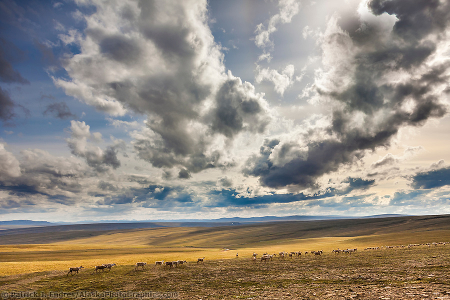 Western arctic caribou herd migrates in the Utukok uplands, National Petroleum Reserve Alaska, Arctic, Alaska. (Patrick J Endres / AlaskaPhotoGraphics.com)