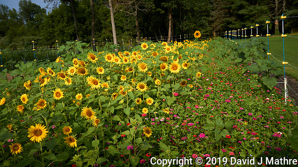 Sunflowers. Image taken with a Leica T camera and 18 mm f/2.8 lens (DAVID J MATHRE)