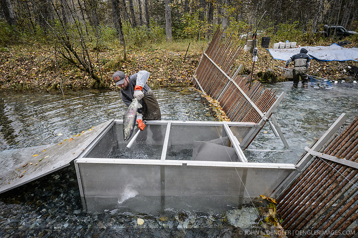 David Campbell (left) and Dylan Burbank, fish technicians for the non-profit Northern Southeast Regional Aquaculture Association, Inc. (NSRAA), harvest chum salmon at a temporary weir located on the man-made spawning channel of Herman Creek near Haines, Alaska. Captured fish are killed with small bats. NSRAA built the channel to collect wild broodstock by harvesting spawning female and male salmon for their eggs and milt to artificially spawn wild chum salmon. The eggs are fertilized with milt and placed in stream-side incubation boxes on Herman Creek and the Klehini River. In 2014, 2.4 million eggs were seeded into these incubation boxes. The 2013 incubation box survival rate was 90%. Without the artificial spawning, natural survival is said to be only 10%. Based in Sitka, Alaska, NSRAA conducts salmon enhancement projects in northern southeast Alaska. It is funded through a salmon enhancement tax (of three percent) and cost-recovery income. NSRAA also produces sockeye, chinook, and coho salmon. Male chum salmon return to Herman Creek to spawn with female chum salmon during the fall chum salmon run. The chum salmon return to freshwater Herman Creek, tributary of the Klehini River after living three to five years in the saltwater ocean. Spawning only once, chum salmon die approximately two weeks after they spawn. Chilkat River and Klehini River chum salmon are the primary food source for one of the largest gatherings of bald eagles in the world. Each fall, bald eagles congregate in the Alaska Chilkat Bald Eagle Preserve. (© John L. Dengler/Dengler Images)