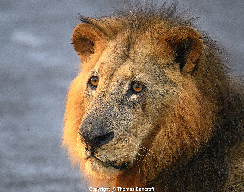 The tight portrait on this male lion shows the dignity of his age and the grace of his manner. (Thomas Bancroft)