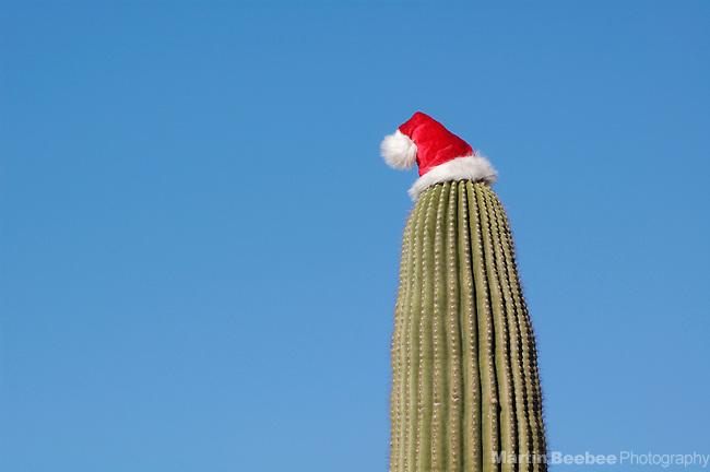 Saguaro cactus (Carnegiea gigantea) with Santa hat, Tucson, Arizona (Martin D. Beebee/Martin Beebee Photography)