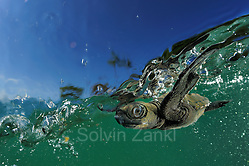 As soon as it entered the water the young olive sea turtle (Lepidochelys olivacea) struggles against the swell to swim away from the coast. The so-called swimming frenzy lasts for approximately 48 hours to keep the hatchlings from being washed ashore. The turtles do not feed within the first days as they live on the reserves they acquired from the yolk in their eggs. The swimming hatchlings often fall prey to e.g. fregate birds or larger fish. | Die junge Oliv-Bastardschildkröte (Lepidochelys olivacea) hat es trotz der lauernden Geier, Störche, Hunde und Krabben bis ins Meer geschafft. Ihre Kraftreserven aus dem Dotter werden ihr nun helfen, einen ganzen Tag lang fast ununterbrochen zu schwimmen. Als Orientierung dient dabei die Wellenrichtung, gegen die sich die kräftigen Winzlinge stemmen, um die Küste hinter sich zu lassen. Doch auch im Wasser lauern Gefahren: Raubfische von unten und Fregattvögel von oben. (Solvin Zankl)