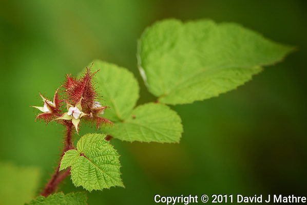 Wild Raspberry Flower. Spring Outdoor Nature in New Jersey. Image taken with a Nikon D3s and 200-400 mm f/4 lens (ISO 1000, 400 mm, f/5.6, 1/400 sec). Raw image processed with Capture One Pro 6, Focus Magic, Nik Define, and Photoshop CS5. (David J Mathre)