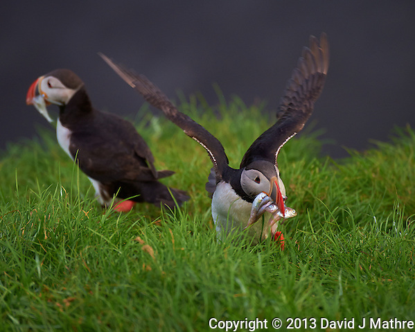 Puffin Landing with a Mouth Full of Fish.(David J Mathre)