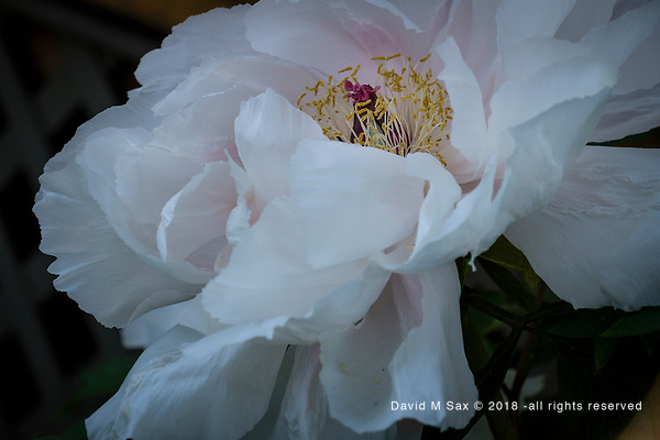 5.9.18 - Grande Peony... (©David M Sax 2018 - all rights reserved)