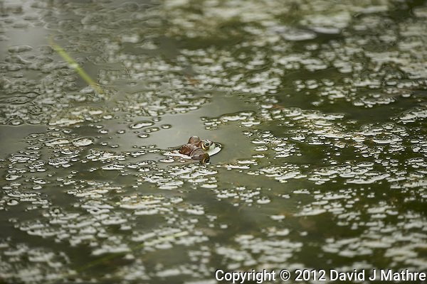 Bullfrog in a Pond at the Sourland Mountain Preserve in New Jersey. Image taken with a Nikon D800 and 500 mm f/4 VRII lens (ISO 800, 500 mm, f/4, 1/800 sec). Center focus sensor. (David J Mathre)