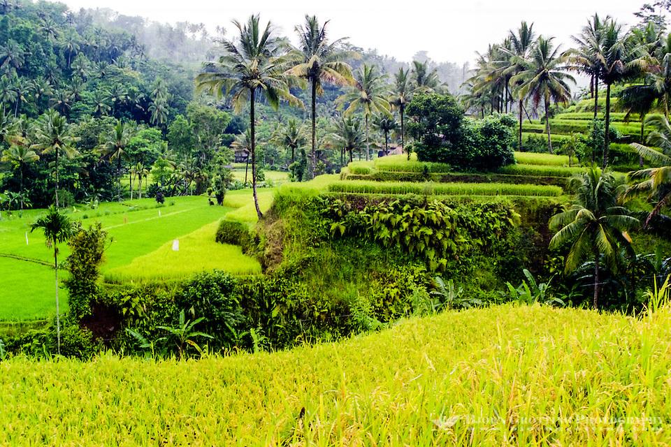 Bali, Karangasem, Amlapura. The road from Rendang to Amlapura passes through beautiful rice paddies and dense forests. (Photo Bjorn Grotting)
