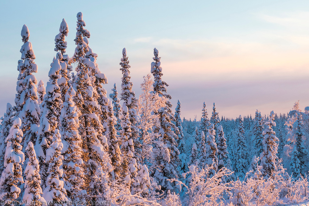 Snow covered spruce trees in the boreal forest of Fairbanks, Alaska. (Patrick J Endres / AlaskaPhotoGraphics.com)