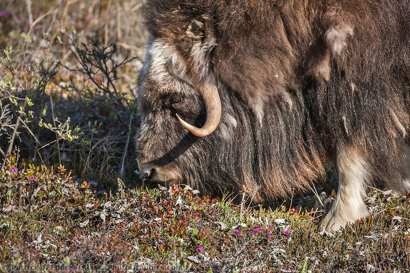 Bull muskox with shedding quiviut (fur) feeds on the summer tundra vegetation of Alaska's arctic north slope. (Patrick J. Endres / AlaskaPhotoGraphics.com)