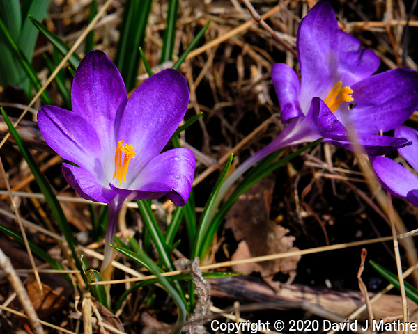 Purple Crocus Flowers. Image taken with a Fuji X-H1 camera and 200 mm f/2 OIS lens and 1.4x teleconverter (ISO 200, 280 mm, f/11, 1/160 sec). (DAVID J MATHRE)