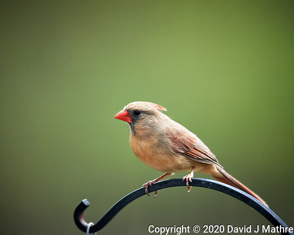 Female Northern Cardinal. Image taken with a Nikon D5 camera and 600 mm f/4 VR lens (ISO 280, 600 mm, f/4. 1/1250 sec) (DAVID J MATHRE)